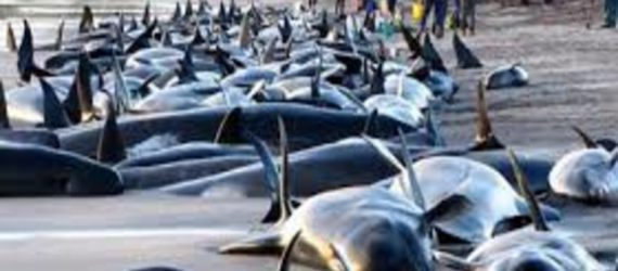 Hundreds of whales dead after mass beaching