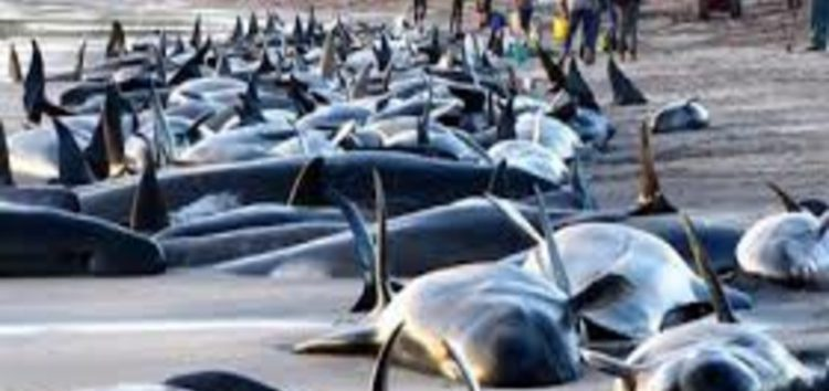 Hundreds of whales dead after mass beaching