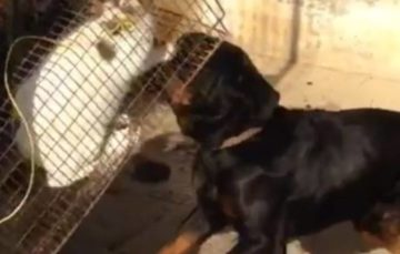 Justice as police arrest man who fed cat to dog