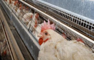 Bird Flu Strain No Threat to Humans