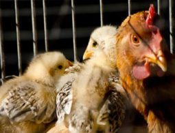 Gauteng Residents Urged Not To Panic over Bird Flu