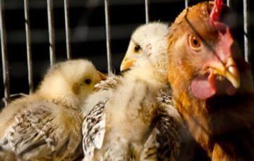 Gauteng Residents Urged Not To Panic over Bird Flu