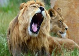 Still no sign of escaped Kruger National park lions
