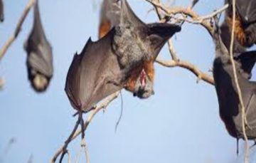 Record-breaking heat wave in Australia causes bats' brains to boil