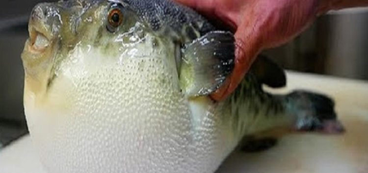 Emergency alert in Japan as officials hunt for deadly fugu fish sold in error by supermarket