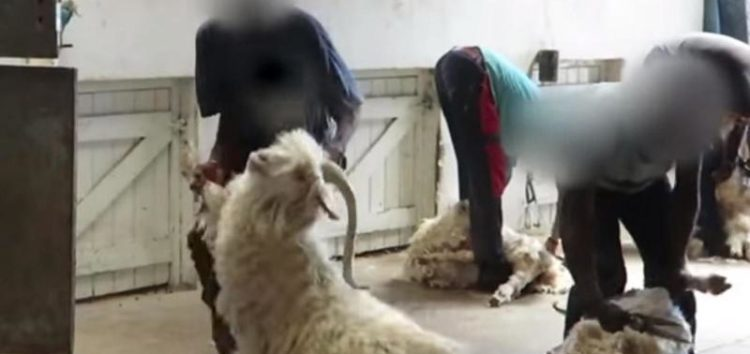 Undercover footage of goats being mutilated at farms prompts clothing retailers to stop sale of mohair products