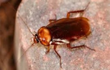 Could cockroach milk be the next superfood?