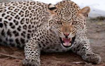 Uganda: Leopard eats national park ranger's toddler