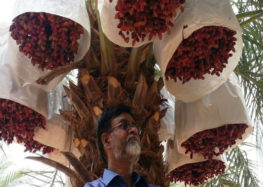 Meet Nizamuddin, the Saudi-return farmer cultivating Gulf-like dates in India using tissue culture