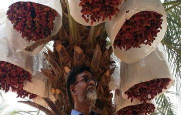 Meet Nizamuddin, the Saudi-return farmer cultivating Gulf-like dates in India using tissue culture