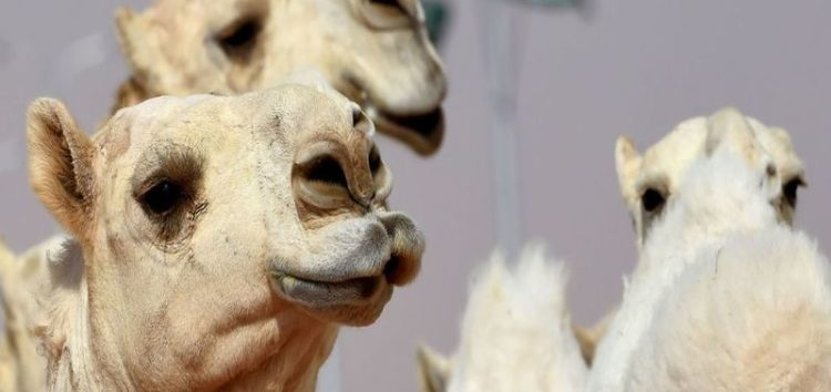 Saudi camel owners fined for performing cosmetic surgery on their animals