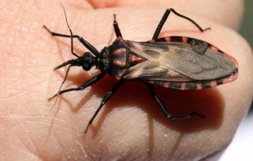 Medics warn of dangerous 'kissing bug' disease