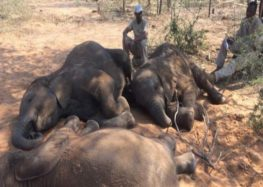 Dozens of elephants killed near Botswana wildlife sanctuary
