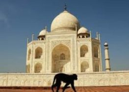Monkey menace hounds the Taj Mahal
