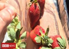 Probe launched as Australia's Strawberry needle scare widens