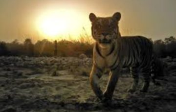 India:Authorities using cologne to hunt a man-eating tiger