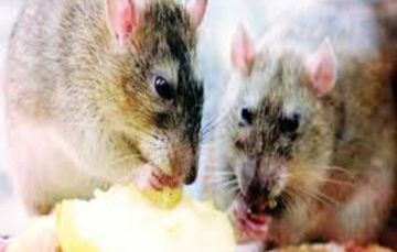 Lassa fever prompts 'emergency' in Nigeria