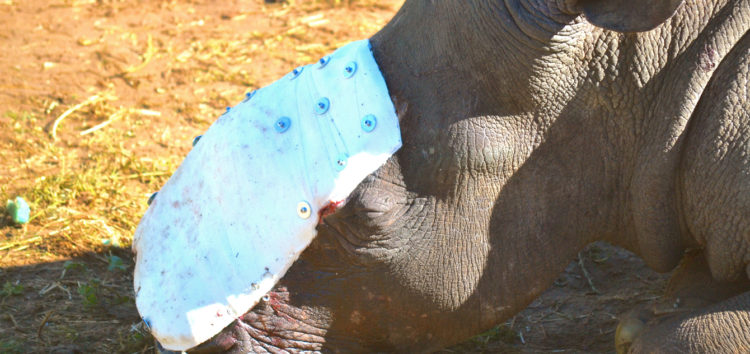 Hope – The first rhino to receive groundbreaking surgery