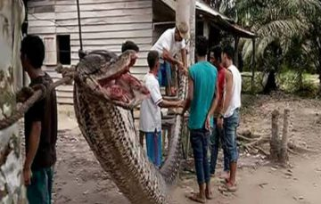 Fancy some snake for supper? Giant python attacks Indonesian man before being eaten