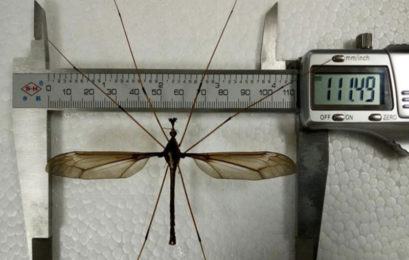 Super-sized mosquito found in China