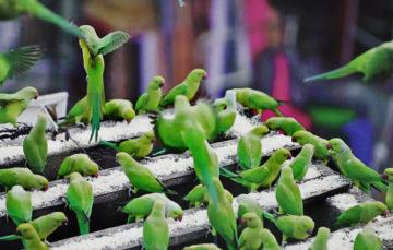 Meet India's 'birdman' who feeds 3,000 parakeets daily