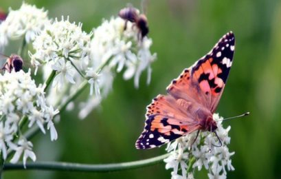 Over 40 percent of insect species could go extinct soon