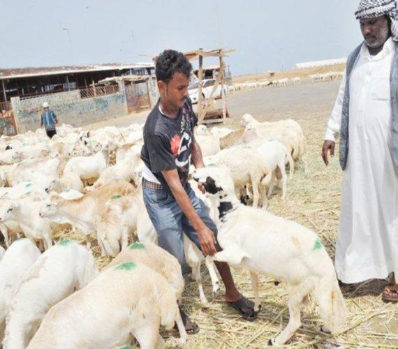 More than a million 'sacrificial' animals ready for Hajj