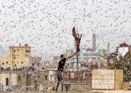 Locust invasion in Yemen stokes food insecurity fears
