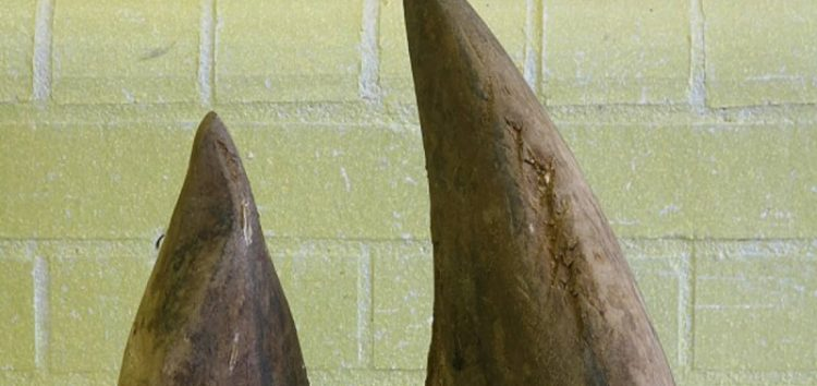 Rhino Horn worth R 53 million seized at OR Tambo Airport